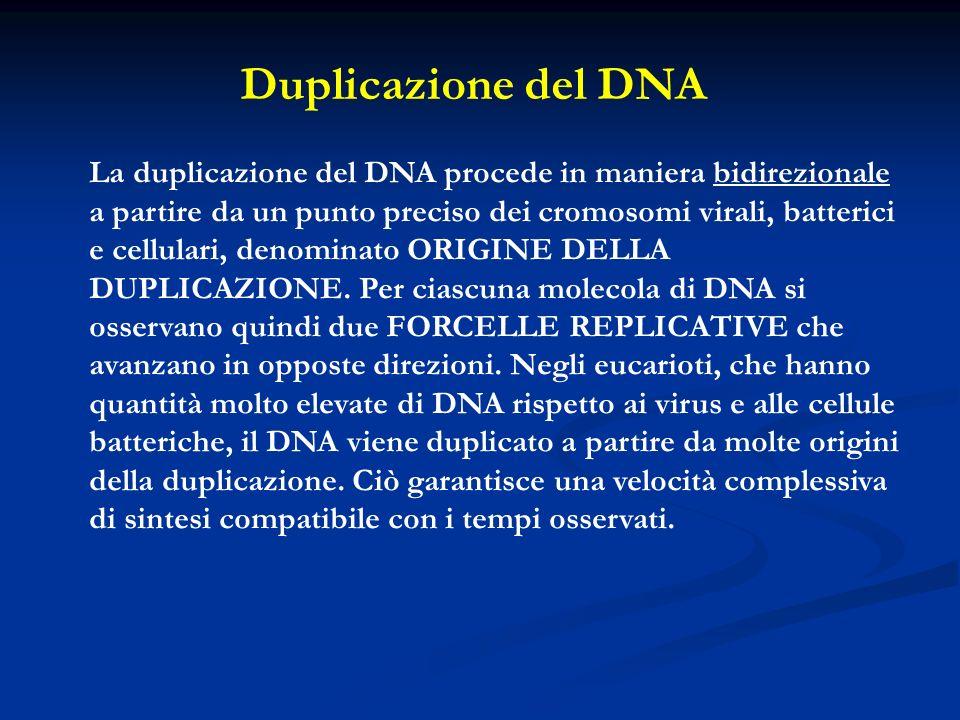 La duplicazione del DNA procede in maniera bidirezionale a partire da un punto preciso dei cromosomi virali, batterici e cellulari, denominato ORIGINE