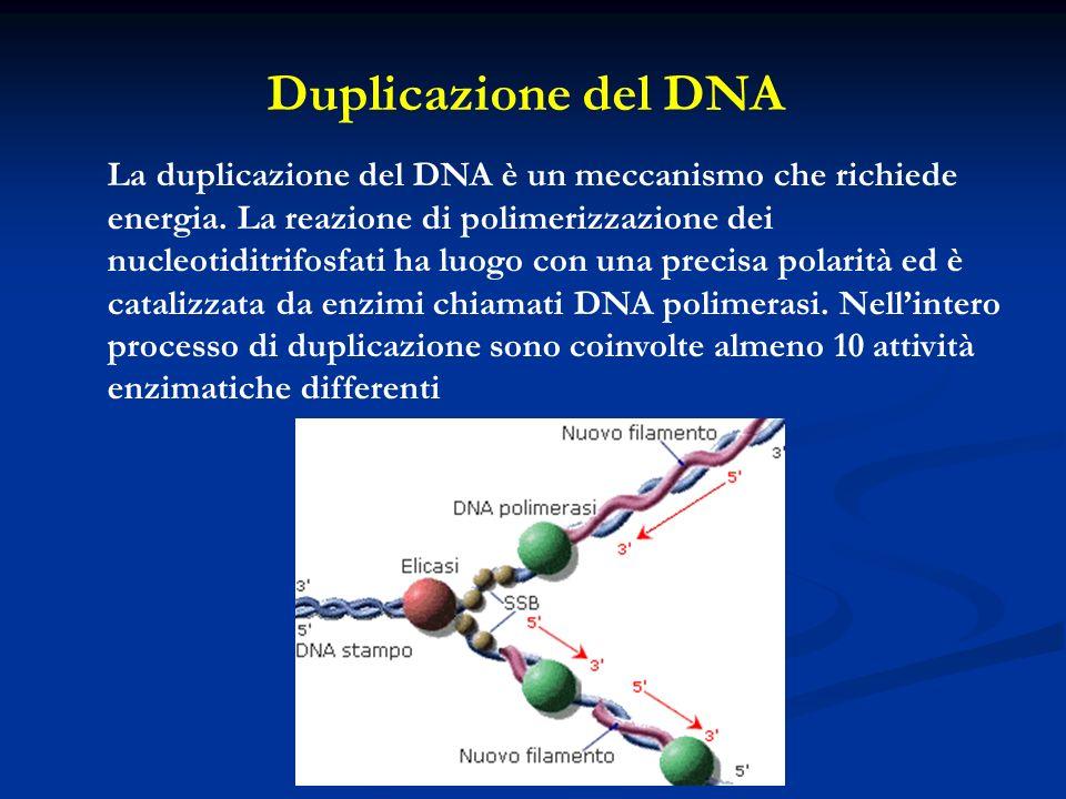 La duplicazione del DNA è un meccanismo che richiede energia. La reazione di polimerizzazione dei nucleotiditrifosfati ha luogo con una precisa polari