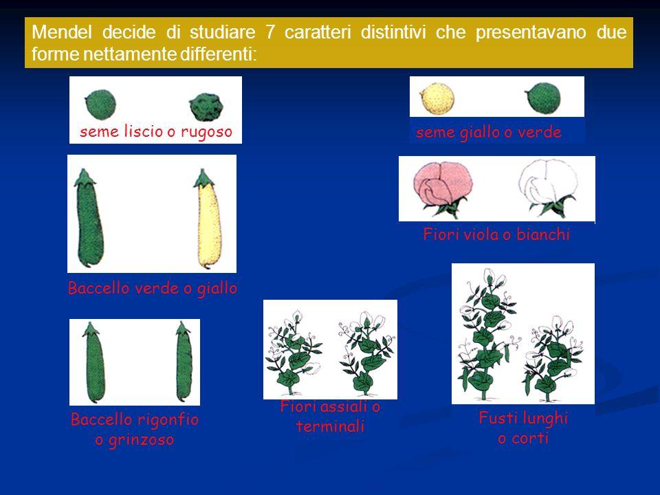 Mendel decide di studiare 7 caratteri distintivi che presentavano due forme nettamente differenti: seme liscio o rugoso seme giallo o verde Baccello v