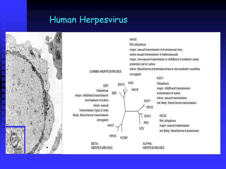 Human Herpesvirus