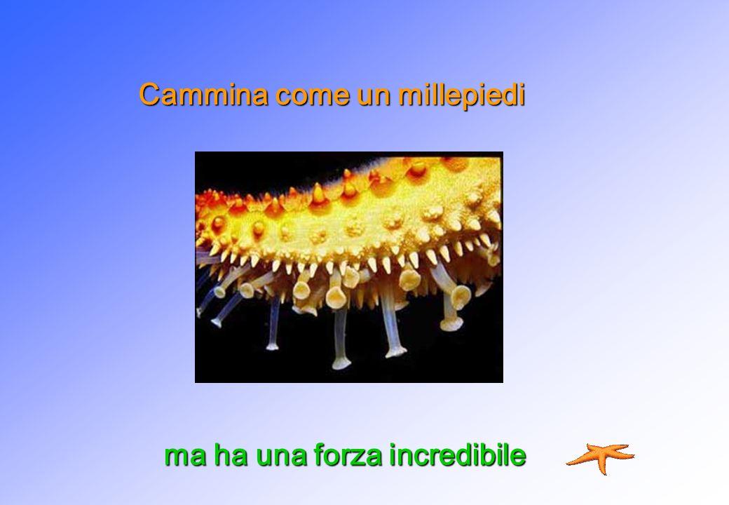 Cammina come un millepiedi ma ha una forza incredibile