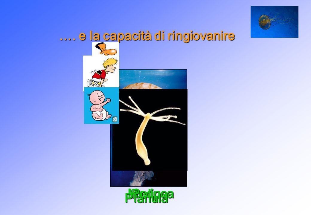 …. e la capacità di ringiovanire Medusa Polipo Planula