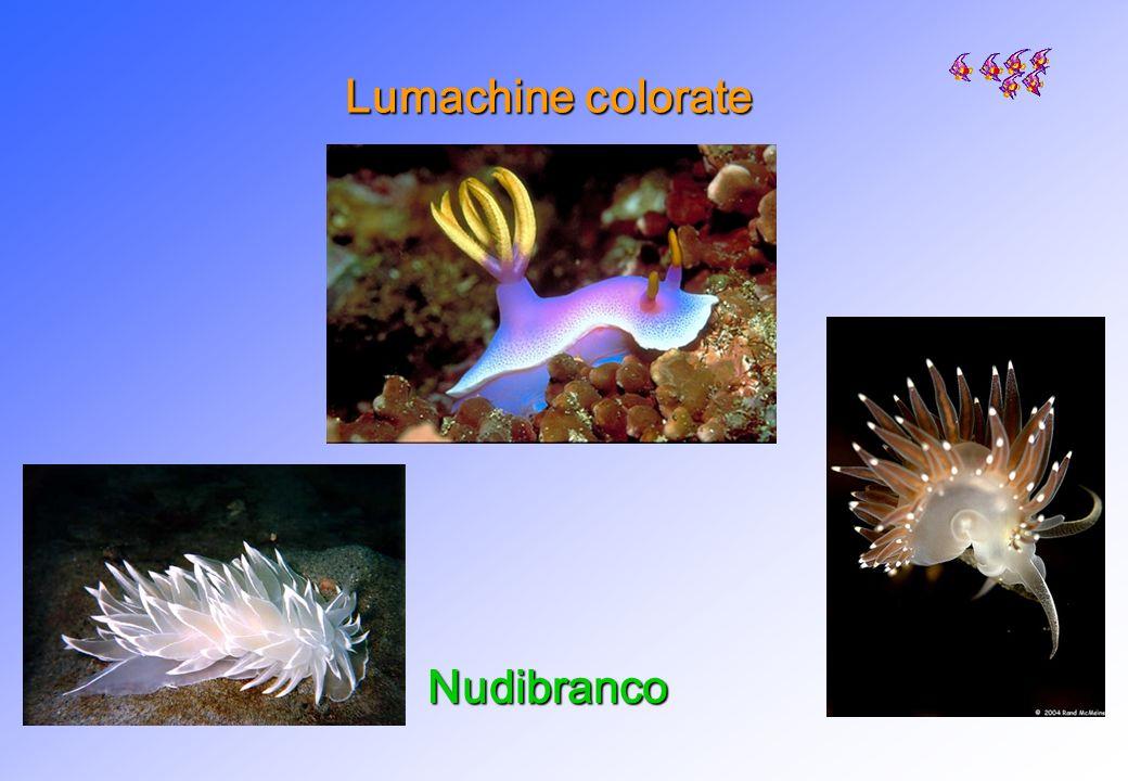 Lumachine colorate Nudibranco