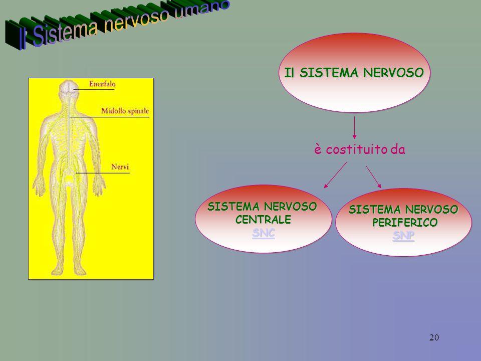 20 Il SISTEMA NERVOSO è costituito da SISTEMA NERVOSO CENTRALE SNC SISTEMA NERVOSO CENTRALE SNC SISTEMA NERVOSO PERIFERICO PERIFERICO SNP SISTEMA NERVOSO PERIFERICO PERIFERICO SNP