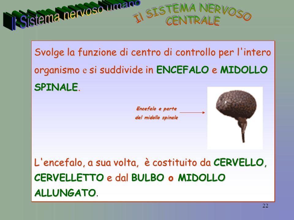 22 Svolge la funzione di centro di controllo per l intero organismo e si suddivide in ENCEFALO e MIDOLLO SPINALE.