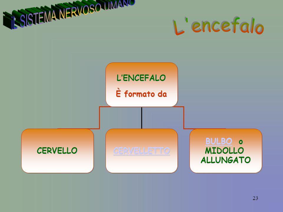 23LENCEFALO È formato da LENCEFALO CERVELLOCERVELLO CERVELLETTO BULBOBULBO o BULBOMIDOLLOALLUNGATO BULBO o BULBOMIDOLLOALLUNGATO