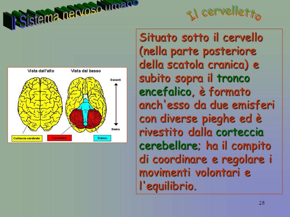28 Situato sotto il cervello (nella parte posteriore della scatola cranica) e subito sopra il tronco encefalico, è formato anch esso da due emisferi con diverse pieghe ed è rivestito dalla corteccia cerebellare; ha il compito di coordinare e regolare i movimenti volontari e l equilibrio.