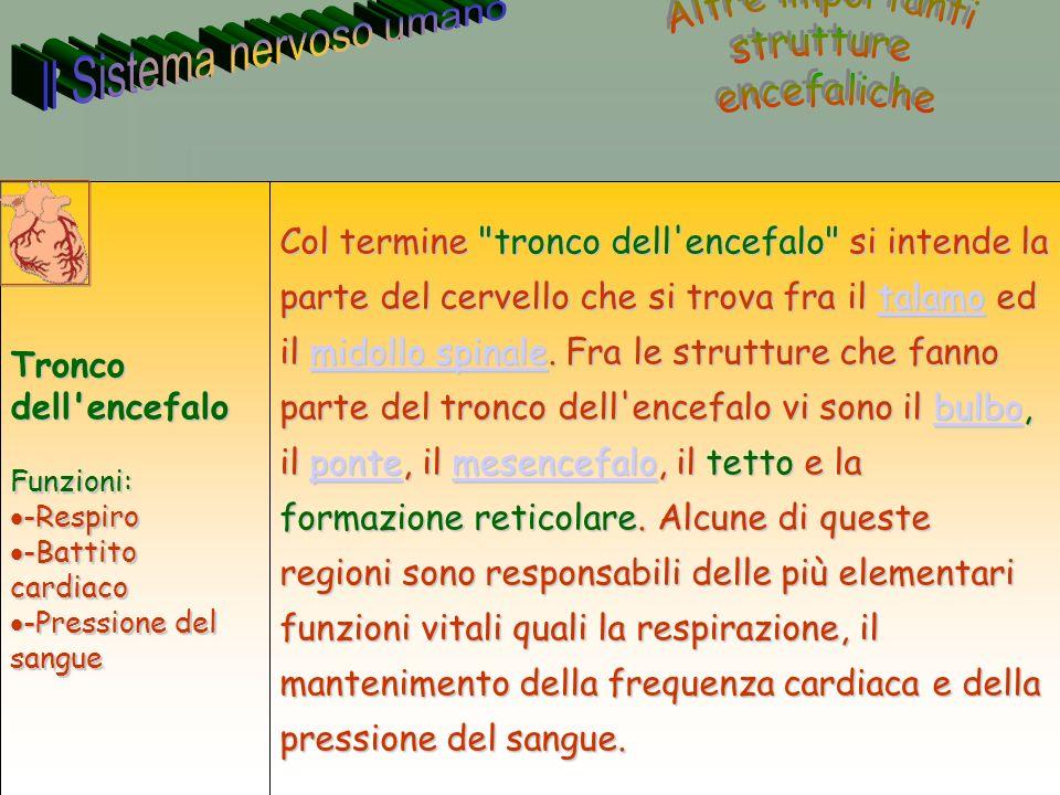 33 Annarita Ruberto Col termine tronco dell encefalo si intende la parte del cervello che si trova fra il talamo ed il midollo spinale.