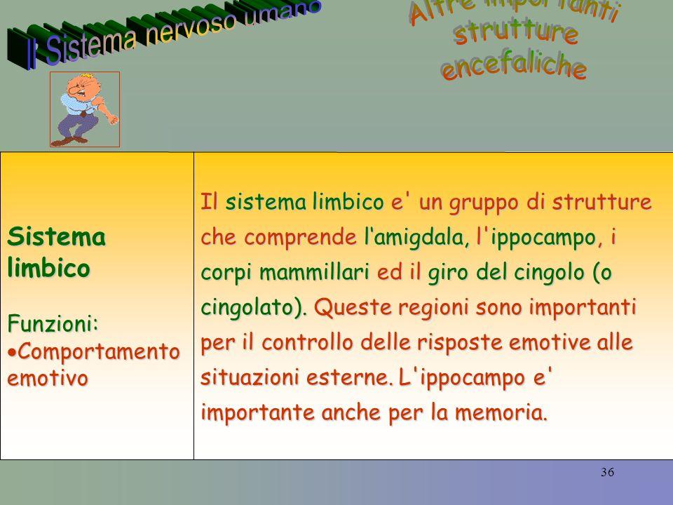 36 Il sistema limbico e un gruppo di strutture che comprende lamigdala, l ippocampo, i corpi mammillari ed il giro del cingolo (o cingolato).