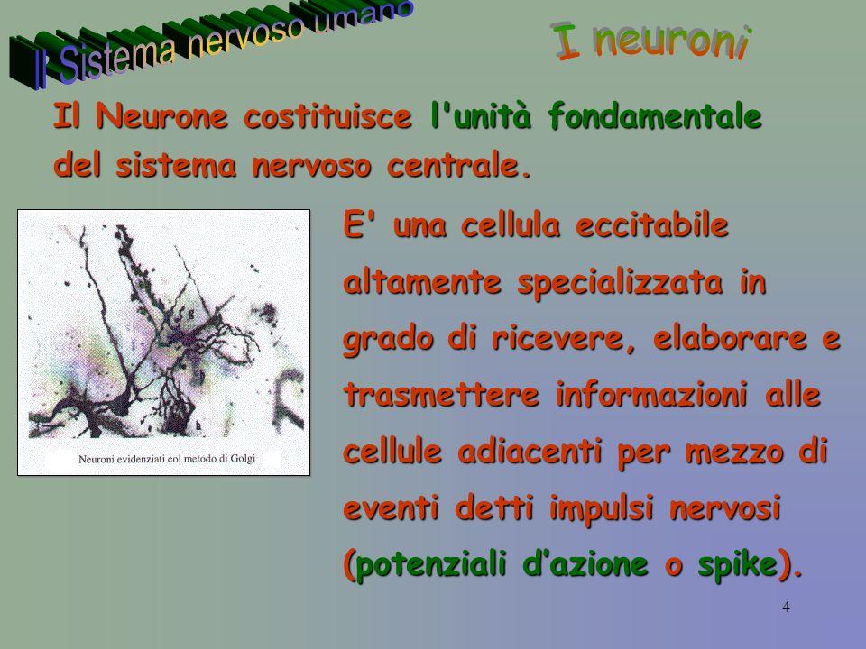 4 E una cellula eccitabile altamente specializzata in grado di ricevere, elaborare e trasmettere informazioni alle cellule adiacenti per mezzo di eventi detti impulsi nervosi (potenziali dazione o spike).