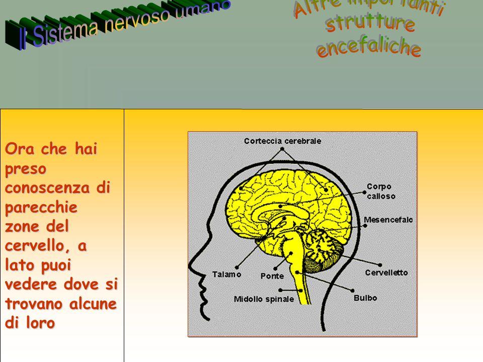 40 Annarita Ruberto Ora che hai preso conoscenza di parecchie zone del cervello, a lato puoi vedere dove si trovano alcune di loro