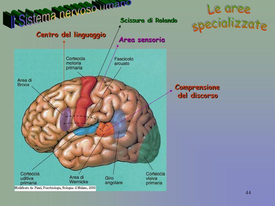 44 Comprensione del discorso del discorso Centro del linguaggio Area sensoria Scissura di Rolando