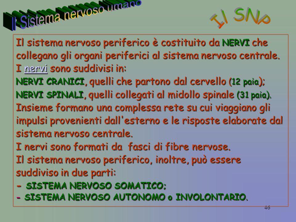 46 Il sistema nervoso periferico è costituito da NERVI che collegano gli organi periferici al sistema nervoso centrale.