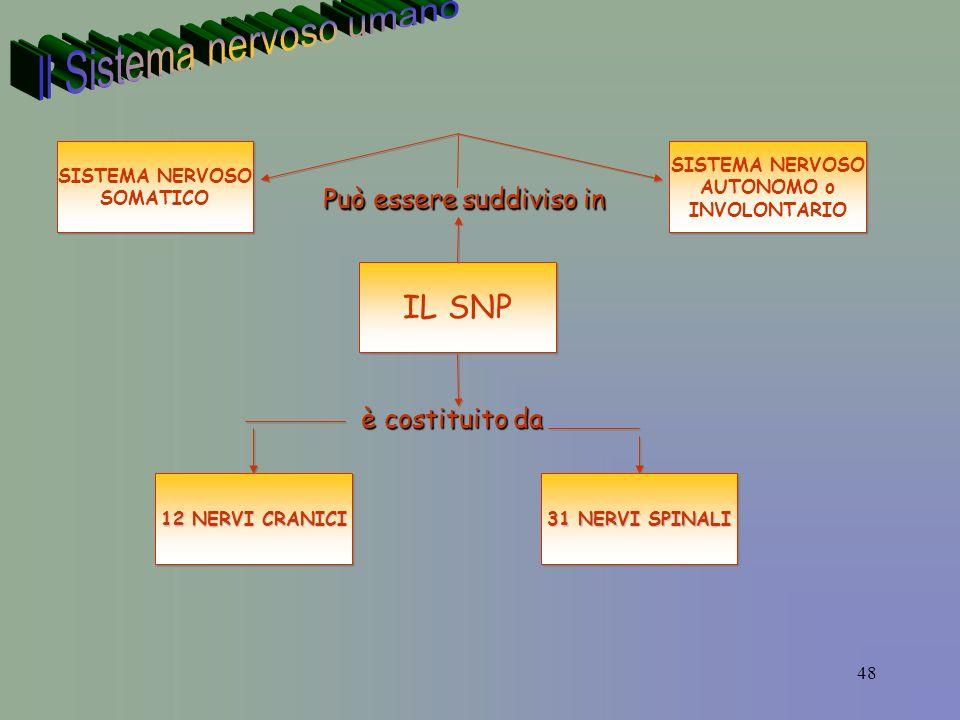 48 IL SNP è costituito da 12 NERVI CRANICI Può essere suddiviso in 31 NERVI SPINALI SISTEMA NERVOSO SOMATICO SISTEMA NERVOSO SOMATICO SISTEMA NERVOSO AUTONOMO o INVOLONTARIO SISTEMA NERVOSO AUTONOMO o INVOLONTARIO