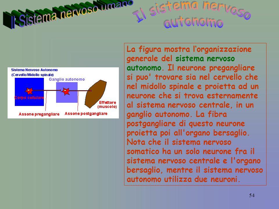 54 La figura mostra lorganizzazione generale del sistema nervoso autonomo.