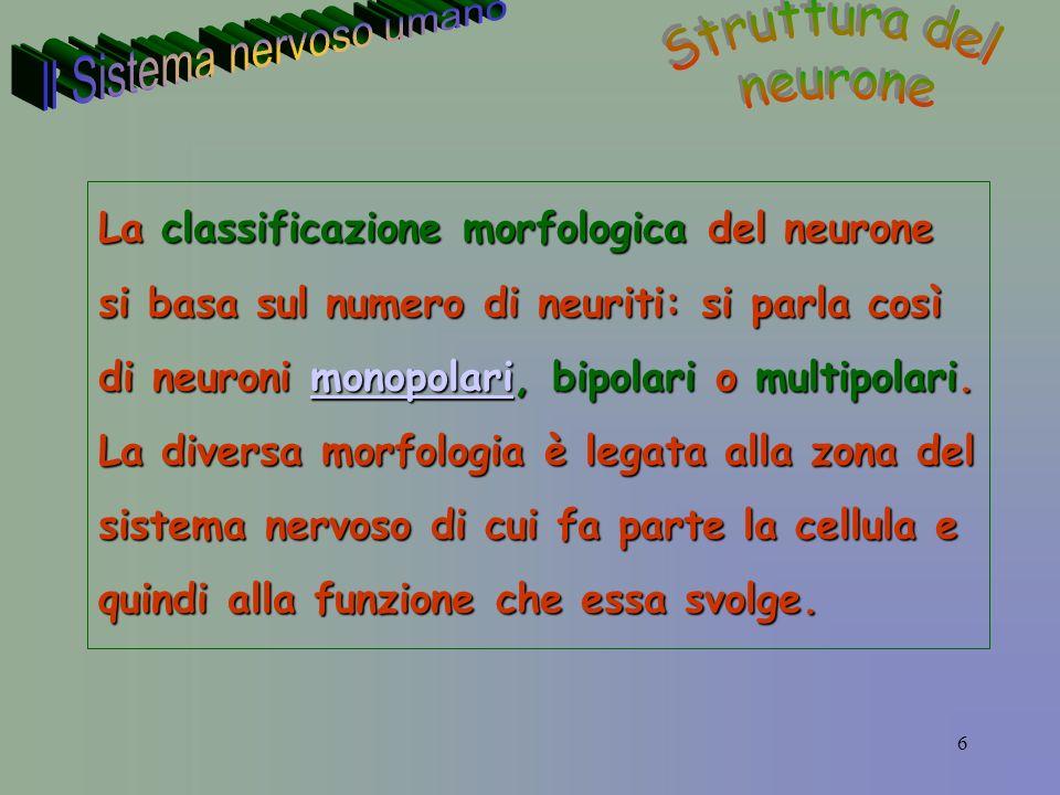 6 La classificazione morfologica del neurone si basa sul numero di neuriti: si parla così di neuroni monopolari, bipolari o multipolari.
