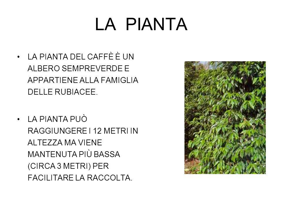 LA PIANTA LA PIANTA DEL CAFFÈ È UN ALBERO SEMPREVERDE E APPARTIENE ALLA FAMIGLIA DELLE RUBIACEE. LA PIANTA PUÒ RAGGIUNGERE I 12 METRI IN ALTEZZA MA VI