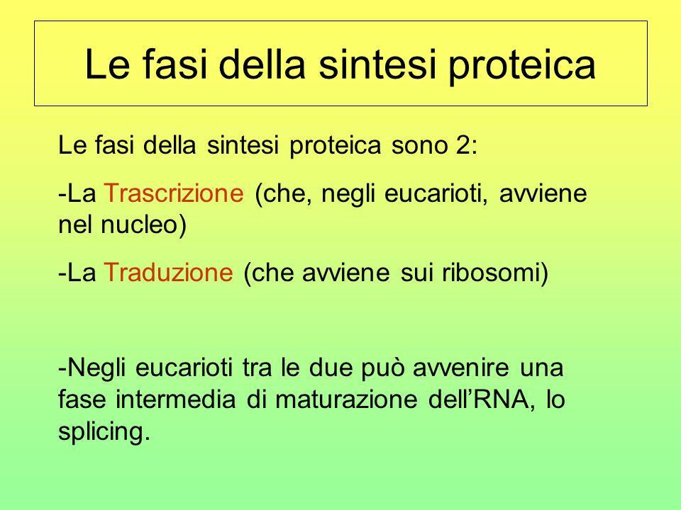 Gli attori – Ribosomi Le fabbriche cellulari di proteine sono i ribosomi, piccoli organuli costituiti da due subunità I ribosomi, come detto, sono cos