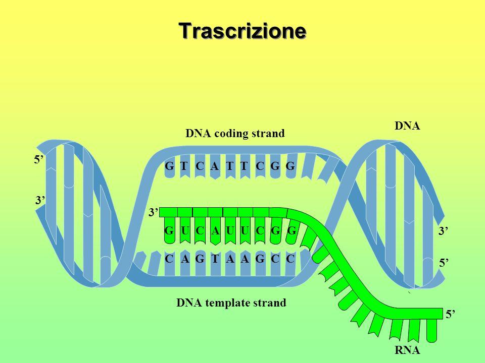 La trascrizione Lo stesso enzima apre la doppia elica… … e inizia, utilizzando uno dei due filamenti come stampo, a costruire una molecola complementa