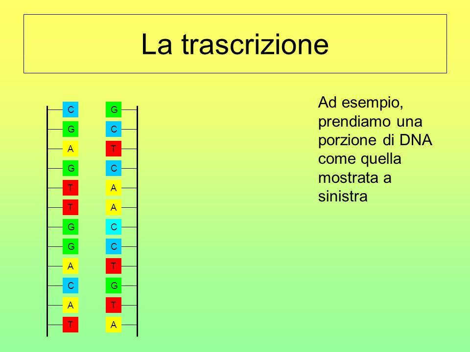 A G T T G G A C T A C G A A A C G T T C C T G C La trascrizione Ad esempio, prendiamo una porzione di DNA come quella mostrata a sinistra