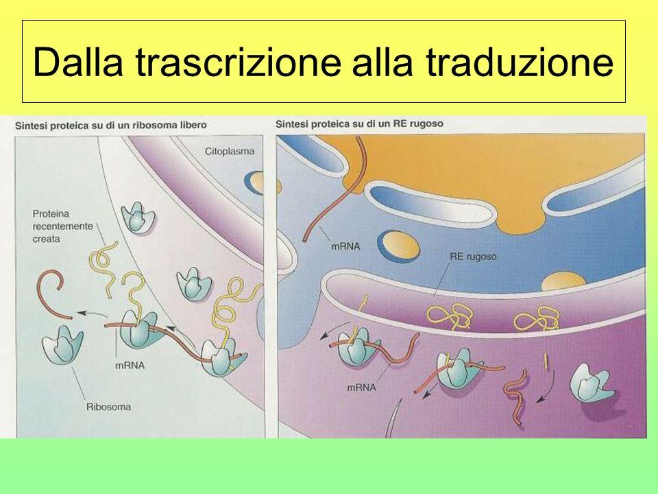 La trascrizione … sarà una sorta di impronta in negativo del gene da cui si è originato… … e migrerà verso i ribosomi liberi nel citoplasma o verso qu
