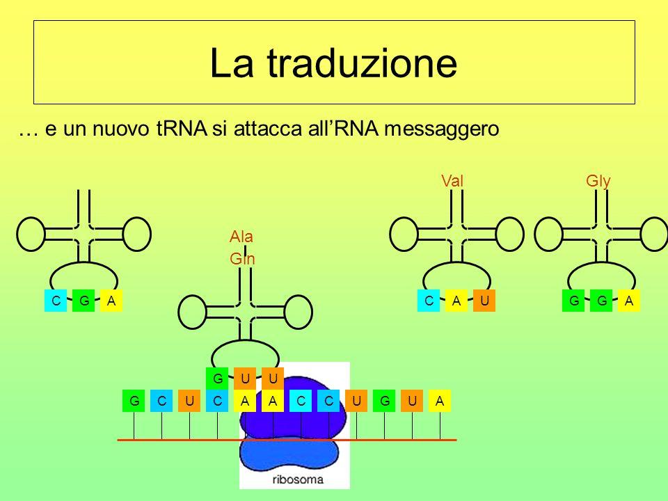 La traduzione GCUCAACCUGUA CGA Ala UGU Gln AGG Gly UCA Val … il primo tRNA si allontana…