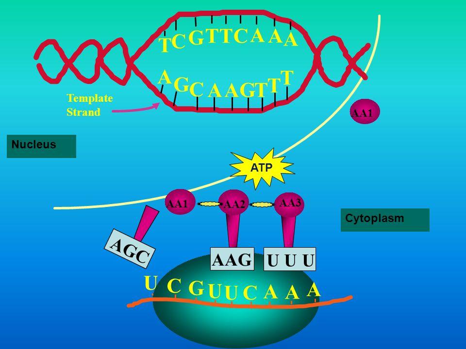 U C G U U C A A A A G C TTC A A A T G C AA T TG T template Strand AA2 AAG AA1 AGC tRNAs Nucleus Cytoplasm ATP