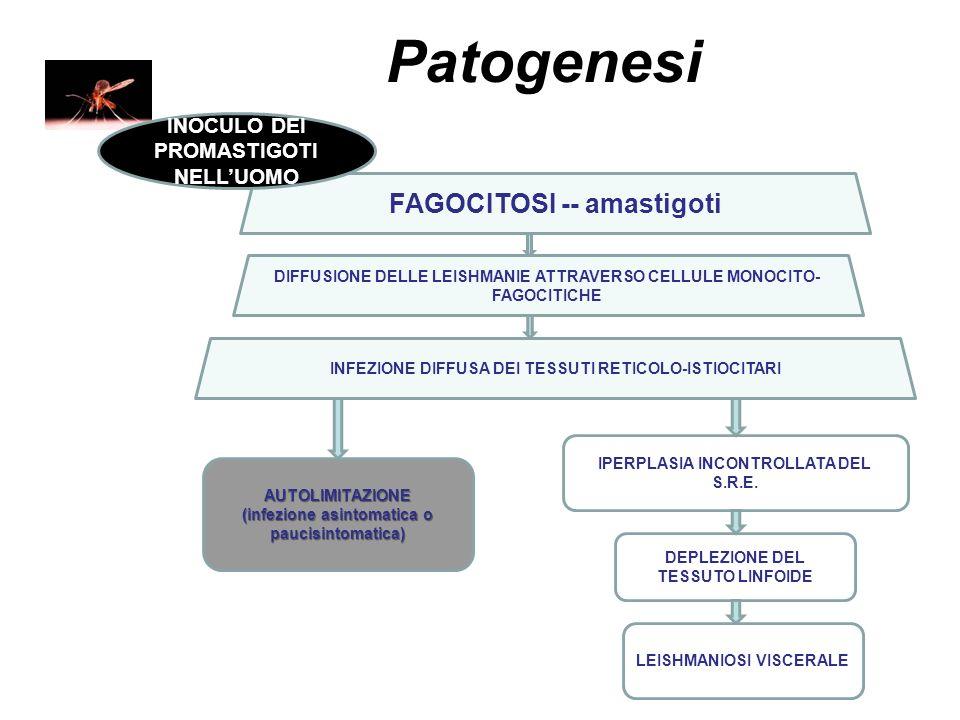 Patogenesi FAGOCITOSI -- amastigoti DIFFUSIONE DELLE LEISHMANIE ATTRAVERSO CELLULE MONOCITO- FAGOCITICHE INFEZIONE DIFFUSA DEI TESSUTI RETICOLO-ISTIOC
