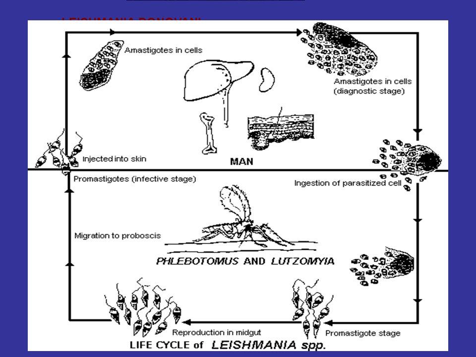 LEISHMANIA DONOVANI