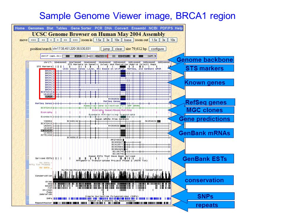 Sample Genome Viewer image, BRCA1 region Genome backbone STS markers Known genes RefSeq genes Gene predictions GenBank mRNAs repeats GenBank ESTs conservation SNPs MGC clones