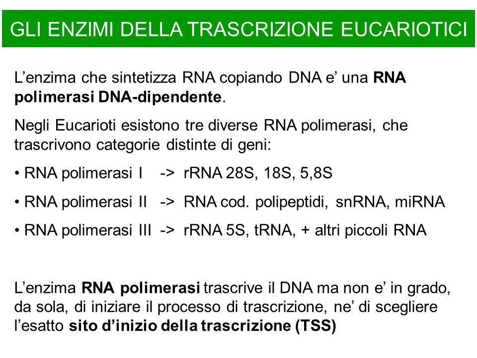GLI ENZIMI DELLA TRASCRIZIONE EUCARIOTICI Lenzima che sintetizza RNA copiando DNA e una RNA polimerasi DNA-dipendente. Negli Eucarioti esistono tre di