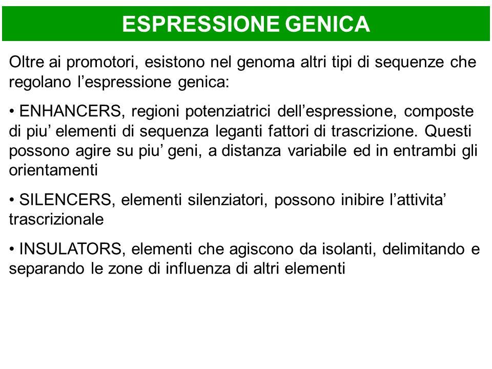ESPRESSIONE GENICA Oltre ai promotori, esistono nel genoma altri tipi di sequenze che regolano lespressione genica: ENHANCERS, regioni potenziatrici d