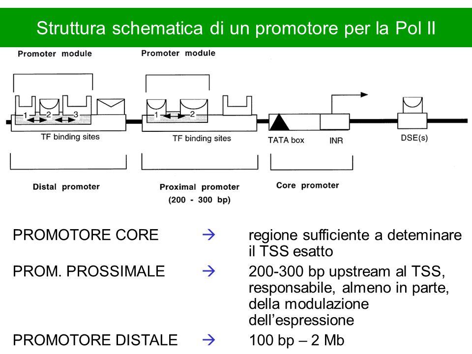 Struttura schematica di un promotore per la Pol II PROMOTORE CORE regione sufficiente a deteminare il TSS esatto PROM. PROSSIMALE 200-300 bp upstream