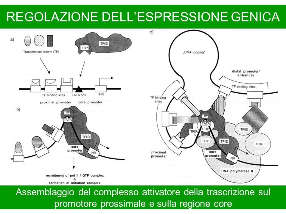 REGOLAZIONE DELLESPRESSIONE GENICA Assemblaggio del complesso attivatore della trascrizione sul promotore prossimale e sulla regione core