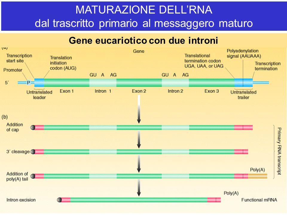MATURAZIONE DELLRNA dal trascritto primario al messaggero maturo Gene eucariotico con due introni