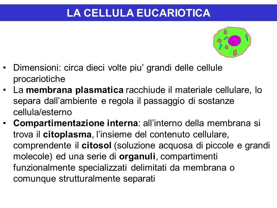 LA CELLULA EUCARIOTICA Dimensioni: circa dieci volte piu grandi delle cellule procariotiche La membrana plasmatica racchiude il materiale cellulare, l