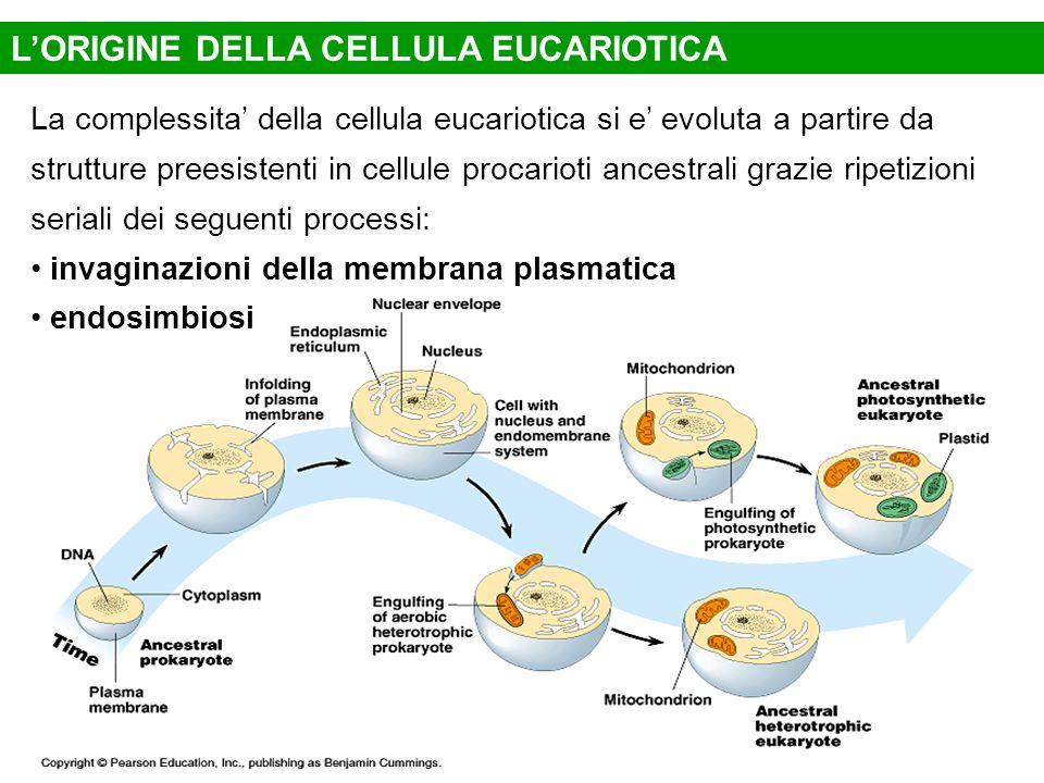 LORIGINE DELLA CELLULA EUCARIOTICA La complessita della cellula eucariotica si e evoluta a partire da strutture preesistenti in cellule procarioti anc