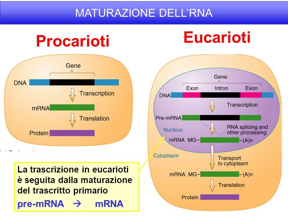 Procarioti Eucarioti MATURAZIONE DELLRNA La trascrizione in eucarioti è seguita dalla maturazione del trascritto primario pre-mRNA mRNA