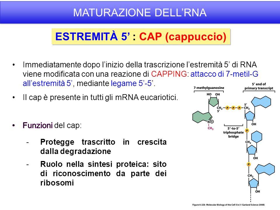 ESTREMITÀ 5 : CAP (cappuccio) -Protegge trascritto in crescita dalla degradazione -Ruolo nella sintesi proteica: sito di riconoscimento da parte dei ribosomi MATURAZIONE DELLRNA