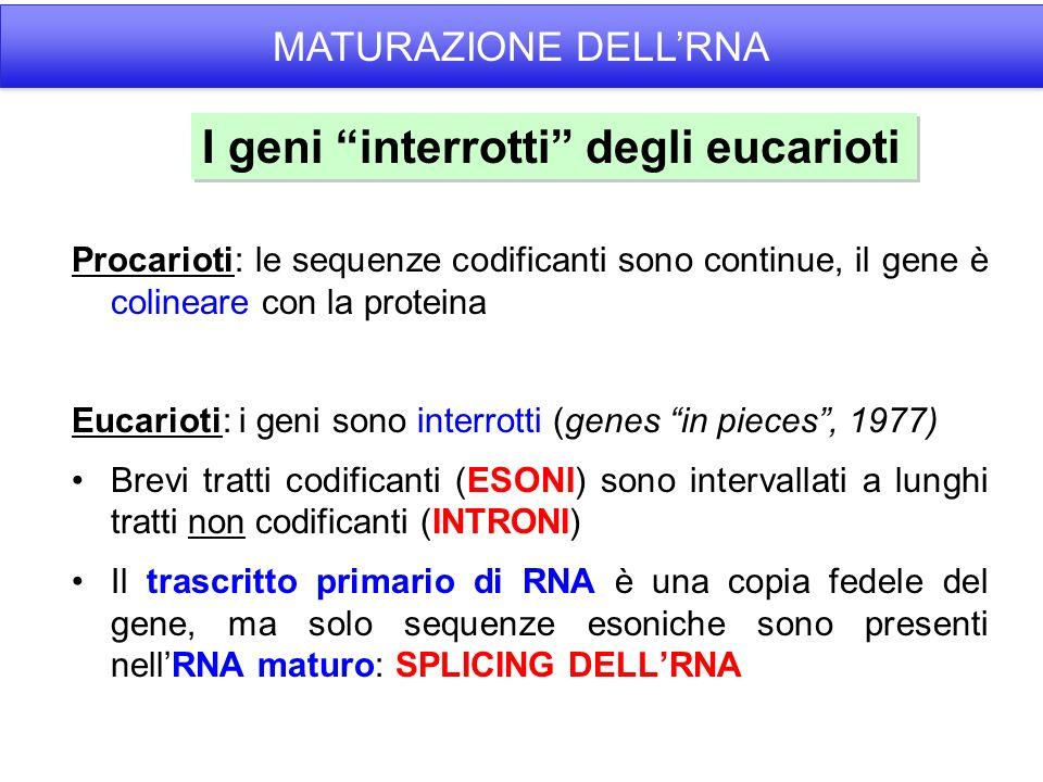 Procarioti: le sequenze codificanti sono continue, il gene è colineare con la proteina Eucarioti: i geni sono interrotti (genes in pieces, 1977) Brevi tratti codificanti (ESONI) sono intervallati a lunghi tratti non codificanti (INTRONI) Il trascritto primario di RNA è una copia fedele del gene, ma solo sequenze esoniche sono presenti nellRNA maturo: SPLICING DELLRNA I geni interrotti degli eucarioti MATURAZIONE DELLRNA