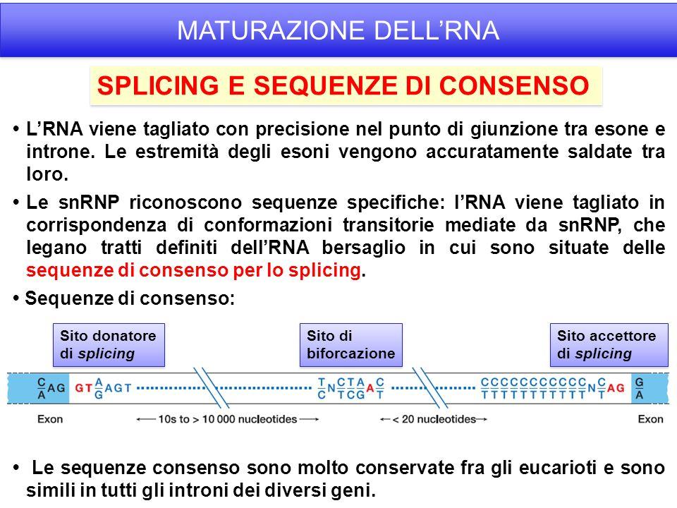 LRNA viene tagliato con precisione nel punto di giunzione tra esone e introne.