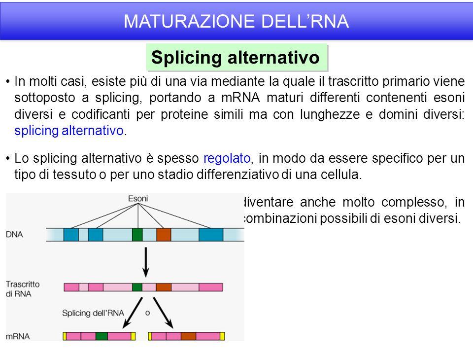 In molti casi, esiste più di una via mediante la quale il trascritto primario viene sottoposto a splicing, portando a mRNA maturi differenti contenenti esoni diversi e codificanti per proteine simili ma con lunghezze e domini diversi: splicing alternativo.