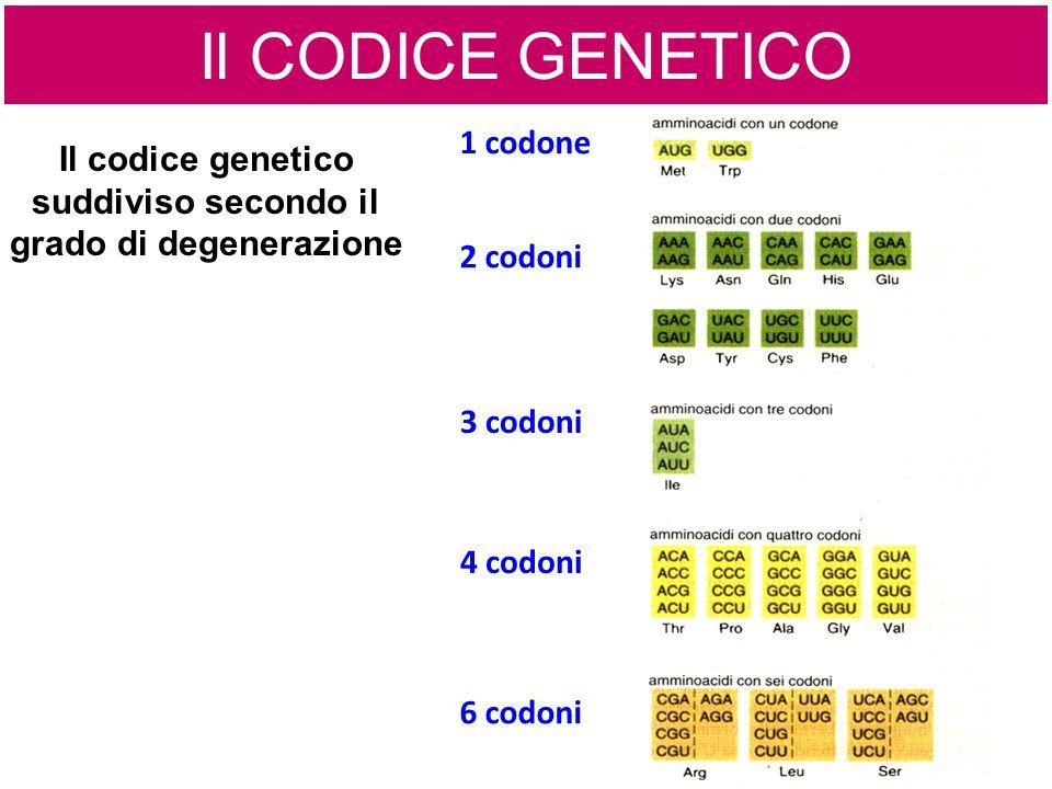 1 codone 2 codoni 3 codoni 4 codoni 6 codoni Il codice genetico suddiviso secondo il grado di degenerazione Il CODICE GENETICO