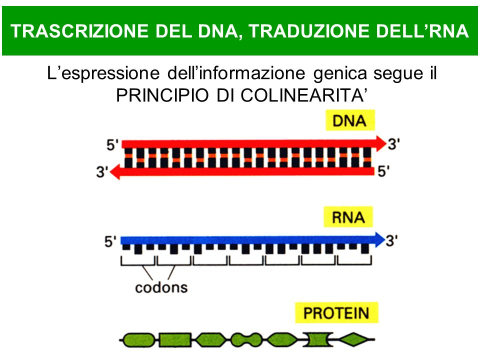 ESPRESSIONE GENICA Solo una frazione minore del DNA presente nelle cellule viene trascritta ed e codificante Evidenze recenti riportano che oltre la meta del genoma possa essere trascritto A seconda delle loro necessita, le cellule trascrivono specifici segmenti del DNA genomico (I GENI), sintetizzando molecole di RNA che hanno la stessa sequenza dei segmenti trascritti Parte di questi RNA e codificante per proteine, cioe e in grado di specificare la sequenza amminoacidica di una data proteina negli Eucarioti, gli RNA codificanti, prima di essere tradotti, vengono modificati (trascritto primario -> trascritto maturo) altri RNA hanno ruolo funzionale e non sono codificanti