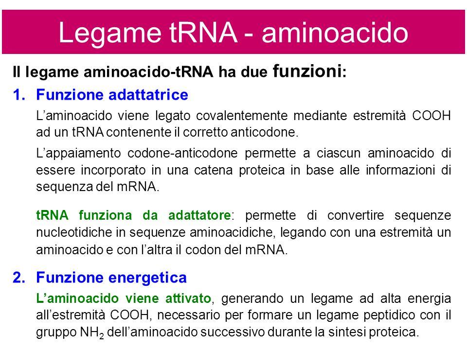 Il legame aminoacido-tRNA ha due funzioni : Legame tRNA - aminoacido 1.Funzione adattatrice Laminoacido viene legato covalentemente mediante estremità COOH ad un tRNA contenente il corretto anticodone.