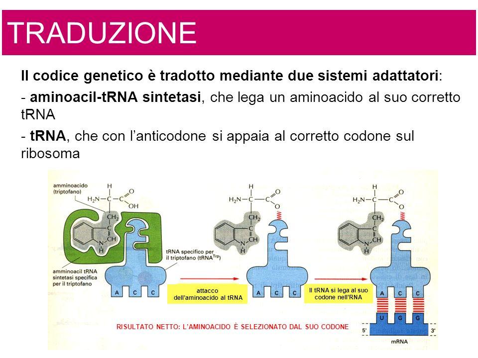 attacco dellaminoacido al tRNA Il tRNA si lega al suo codone nellRNA RISULTATO NETTO: LAMINOACIDO È SELEZIONATO DAL SUO CODONE Il codice genetico è tradotto mediante due sistemi adattatori: - aminoacil-tRNA sintetasi, che lega un aminoacido al suo corretto tRNA - tRNA, che con lanticodone si appaia al corretto codone sul ribosoma TRADUZIONE