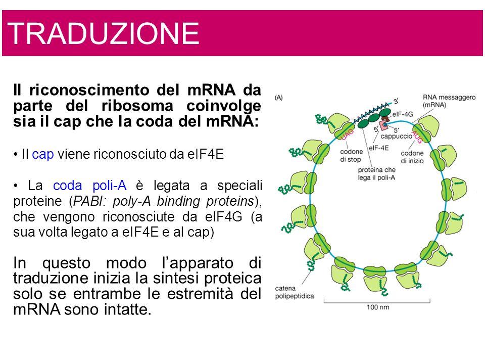 TRADUZIONE Il riconoscimento del mRNA da parte del ribosoma coinvolge sia il cap che la coda del mRNA: Il cap viene riconosciuto da eIF4E La coda poli-A è legata a speciali proteine (PABI: poly-A binding proteins), che vengono riconosciute da eIF4G (a sua volta legato a eIF4E e al cap) In questo modo lapparato di traduzione inizia la sintesi proteica solo se entrambe le estremità del mRNA sono intatte.