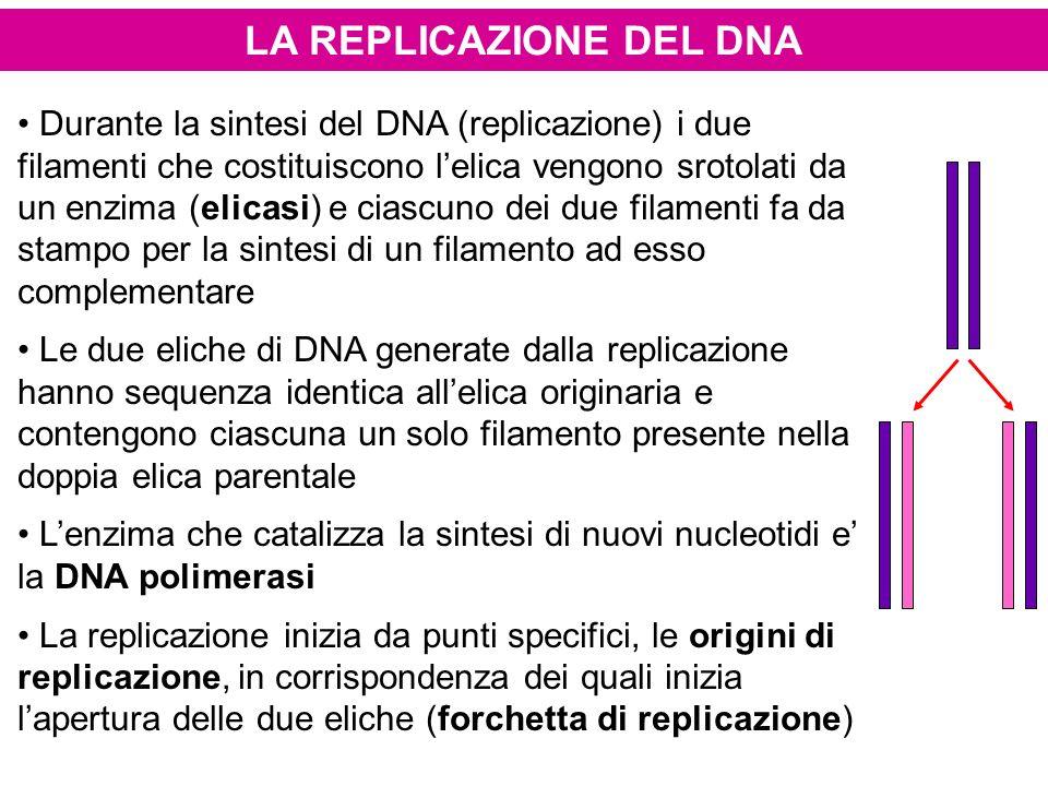 LA REPLICAZIONE DEL DNA Durante la sintesi del DNA (replicazione) i due filamenti che costituiscono lelica vengono srotolati da un enzima (elicasi) e