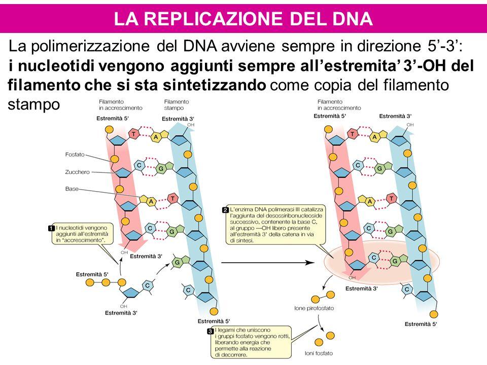 LA REPLICAZIONE DEL DNA La polimerizzazione del DNA avviene sempre in direzione 5-3: i nucleotidi vengono aggiunti sempre allestremita 3-OH del filame