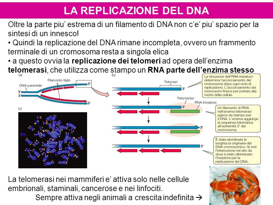Oltre la parte piu estrema di un filamento di DNA non ce piu spazio per la sintesi di un innesco! Quindi la replicazione del DNA rimane incompleta, ov